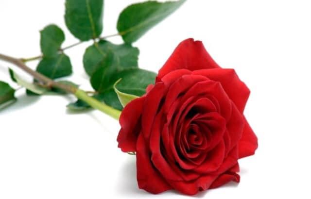 Si Cantik itu, Mawar